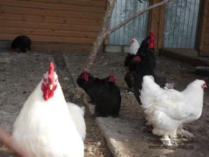 Для сравнения можно посмотреть и на настоящие курицы, правда здесь они тоже не простые.