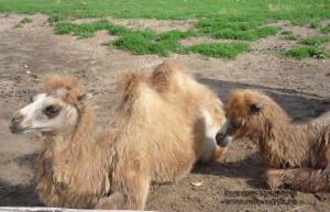 Здесь живет целая верблюжья семья верблюдом. А это у них молодое поколение.
